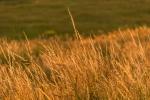 Gras in der Abendsonne